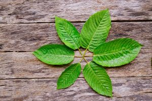 alkaloids kratom leaves circle
