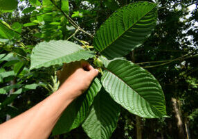 kratom farming sustainability